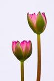 Lotus, dat op wit wordt geïsoleerdn Royalty-vrije Stock Foto's
