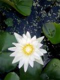 Lotus de beauté Image libre de droits