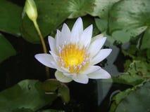 Lotus de beauté Photographie stock libre de droits