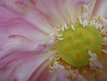 Lotus de beauté Photo stock