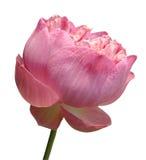Lotus de beauté Photos stock