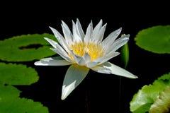 Lotus-de bloem, is een bloem die in het water groeit in sommige mythologieën en geloven zijn heilige bloemen royalty-vrije stock foto's
