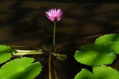 Lotus-de bloem, is een bloem die in het water groeit in sommige mythologie?n en geloven zijn heilige bloemen royalty-vrije stock fotografie