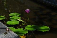 Lotus-de bloem, is een bloem die in het water groeit in sommige mythologie?n en geloven zijn heilige bloemen royalty-vrije stock foto's