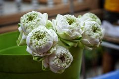 Lotus-de boom van de bloem gradens aard stock foto