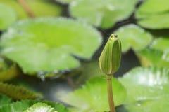 Lotus de bourgeonnement Images stock