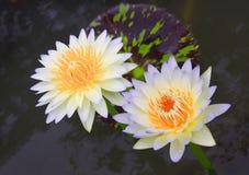 Lotus de couples Images libres de droits