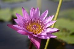 lotus de fleur Images stock