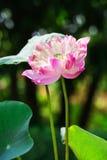 Lotus de fleur de Lotus beau Photos stock