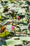 Lotus de fleur de Lotus beau Photographie stock libre de droits