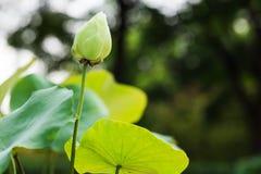 Lotus de fleur de Lotus beau Image stock