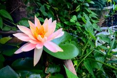 Lotus de floraison de couleur en pastel Image stock
