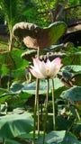 Lotus de floraison dans l'étang pendant le jour d'été chaud Photos libres de droits
