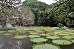 Lotus de floraison flottant sur un étang de lotus Images stock