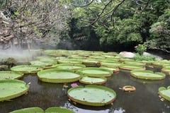 Lotus de floraison flottant sur un étang de lotus Photos stock