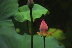 Lotus de floraison rose avec le bourgeon de Lotus Image libre de droits