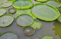 Lotus de flottement énorme, nénuphar d'Amazone de géant Images libres de droits