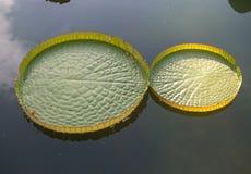 Lotus de flottement énorme, nénuphar d'Amazone de géant Photos stock