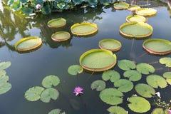Lotus de flottement énorme, nénuphar d'Amazone de géant Image libre de droits