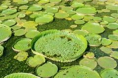Lotus de flottement énorme, nénuphar d'Amazone de géant Photo libre de droits