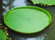 Lotus de flottement énorme, nénuphar d'Amazone de géant, Victoria Amazonie Photos libres de droits