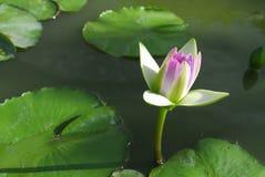 Lotus de foyer sélectif Images stock