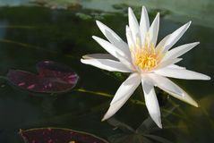 Lotus de foyer sélectif Photos libres de droits