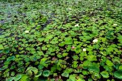 Lotus de fraîcheur et feuilles fanées dans le domaine Photos libres de droits
