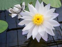 Lotus de l'eau blanche Photographie stock libre de droits