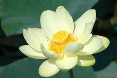 Lotus de l'eau dans l'eau Photographie stock libre de droits