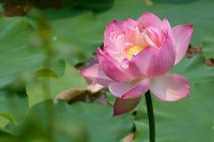 Lotus de l'espace Image libre de droits