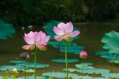 Lotus de l'espace Photo libre de droits