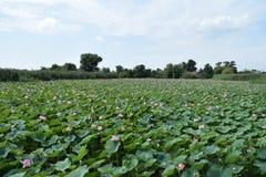 Lotus de lac Images libres de droits