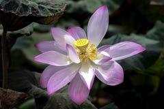 Lotus-de meeldraad glanst stock fotografie