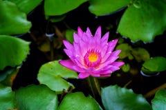 Lotus de nature de papier peint Photo stock