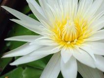 Lotus de nature de papier peint Photographie stock