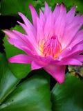 Lotus de nature de papier peint Photo libre de droits