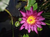 Lotus de nature de papier peint Images libres de droits
