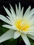 Lotus de nature de papier peint Photographie stock libre de droits
