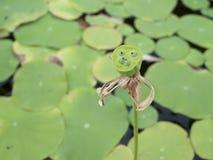 Lotus-de peulen zijn het fruit van de lotusbloem royalty-vrije stock fotografie