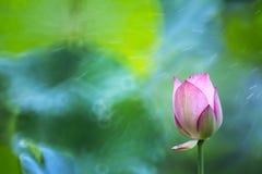 Lotus de pluie tiré par la lentille de réentrée Photographie stock