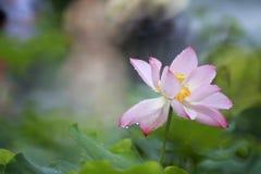 Lotus de pluie tiré par la lentille de réentrée Image stock