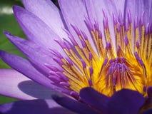 Lotus de pollen Images stock