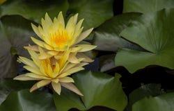 Lotus in de pool, de Bloem, de aardachtergrond of het behang Royalty-vrije Stock Foto's