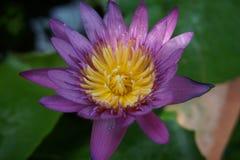 Lotus de pourpre de fleur photographie stock libre de droits