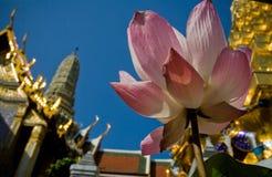 Lotus de sainteté photo stock