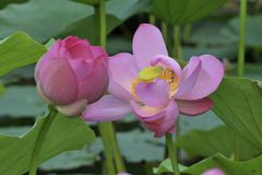 Lotus de sud d'hun Photo libre de droits