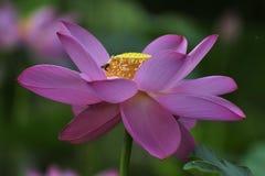 Lotus de sud d'hun Photos libres de droits