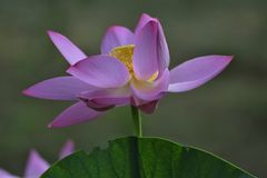 Lotus de sud d'hun Photographie stock