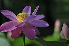 Lotus de sud d'hun Image libre de droits